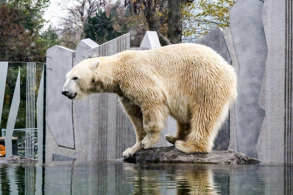 В венском зоопарке Шёнбрунн появился на свет белый медведь